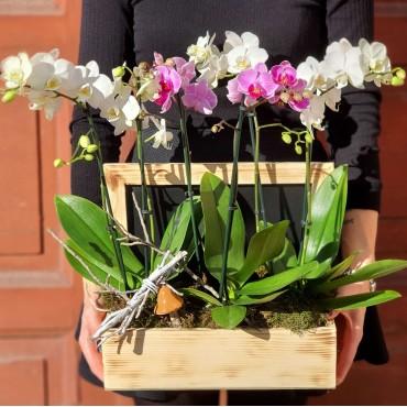Aranjament cu trei plante de orhidee